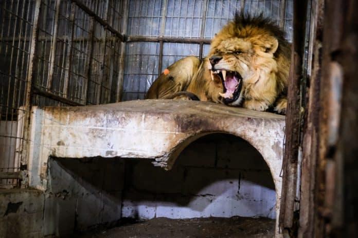 Lion sedated