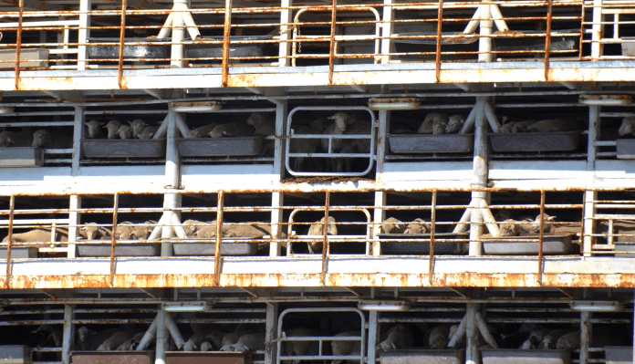 Horrible conditions for animals on livestock ships to Israel, photo: Israel Animal Save