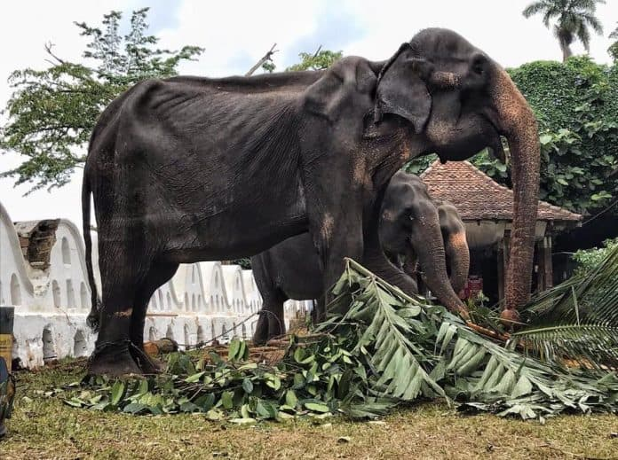 Very skinny elephant, her bones are visible