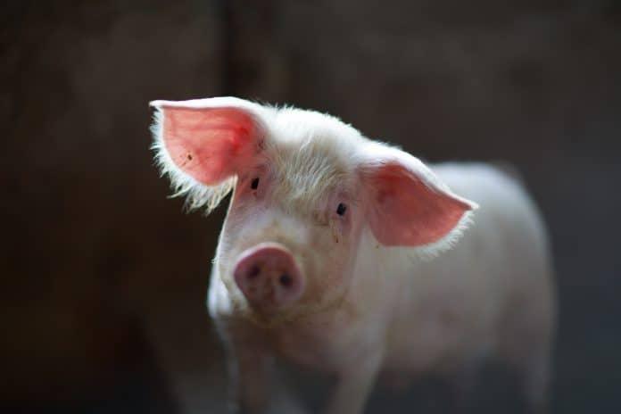 China's breeding bigger pigs to make up for pork shortage, photo: Julian Dutton via Unsplash