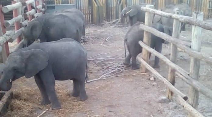 Baby elephants at Hwange National Park, photo: Humane Society International