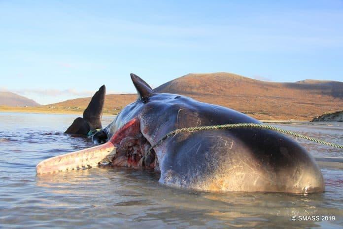 Whale found last week, credit: The Scottish Marine Animal Stranding Scheme