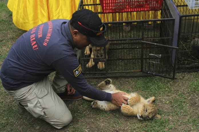 A police officer plays with a lion cub, source: AP