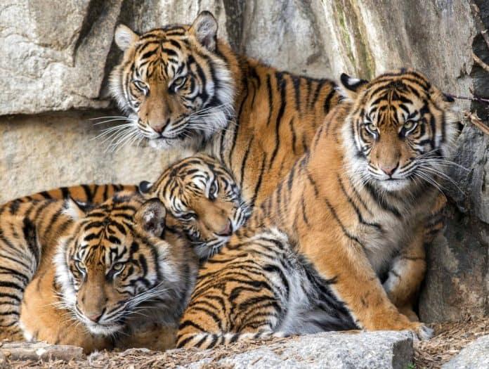 Four young Sumatran tigers in the zoo, source: Zoo Berlin