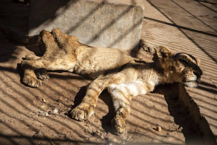 Starving lion at zoo in Sudan, source: AP