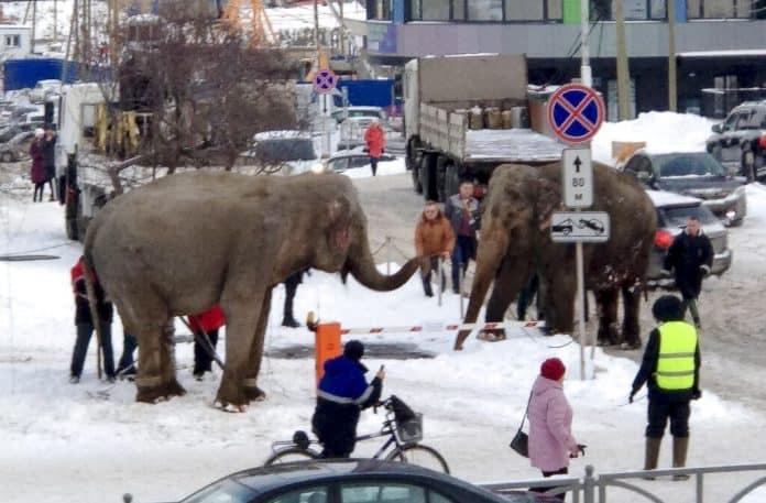 Elephant escape, Anna Dubrovskaya via AP