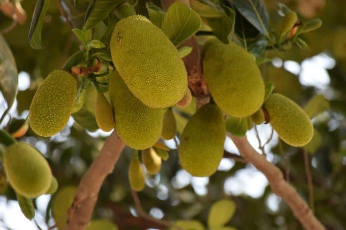 Green jackfruit, photo by Vinod Kumar on Unsplash