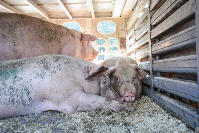 Two pigs lying, one pig standing in a crate, they look miserable