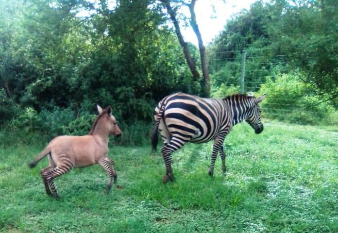 Zebra mom with her baby zonkey, Chyulu Hills National Park, Kenya photo: Sheldrick Wildlife Trust/Reuters