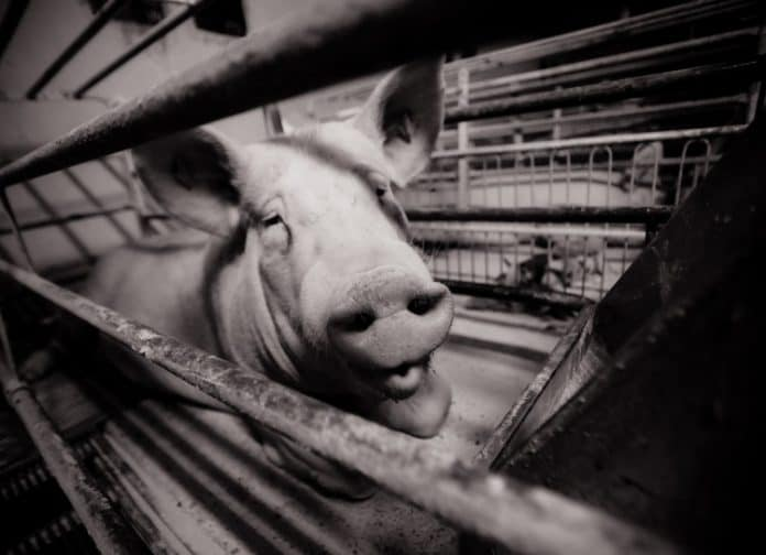 One thousand pigs killed in fire in Holland