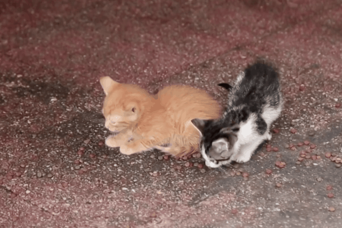 Man feeds hungry stray cats in Morocco