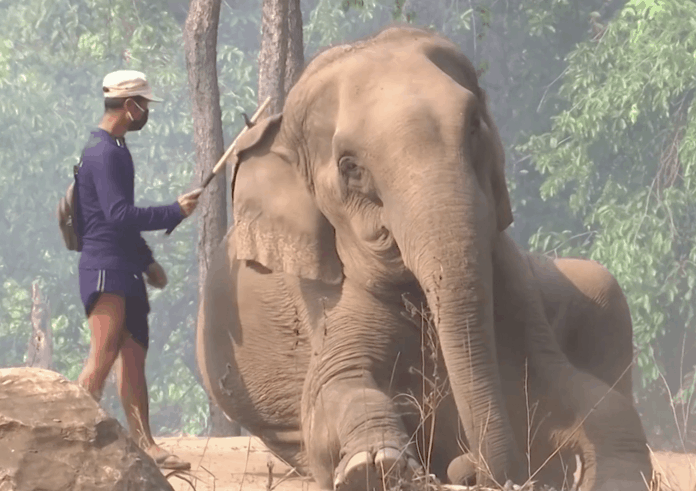 Elephants are struggling in Thailand