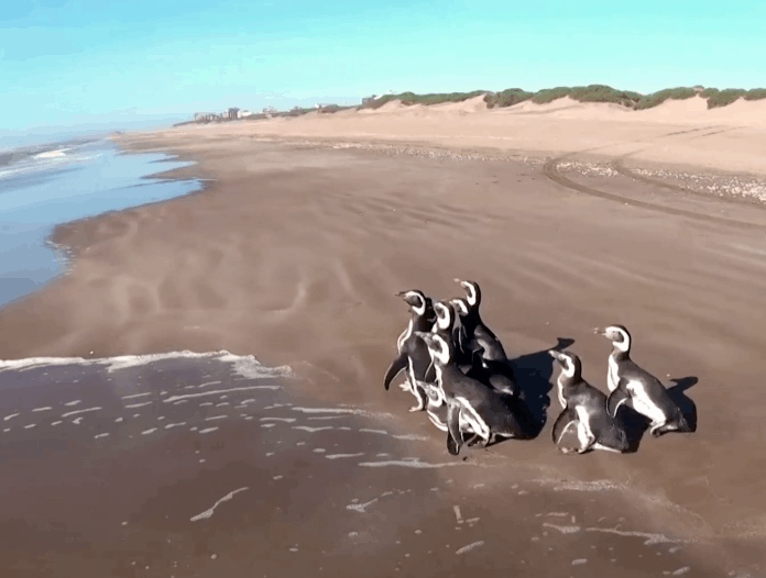 Rescued penguins return to sea in Argentina