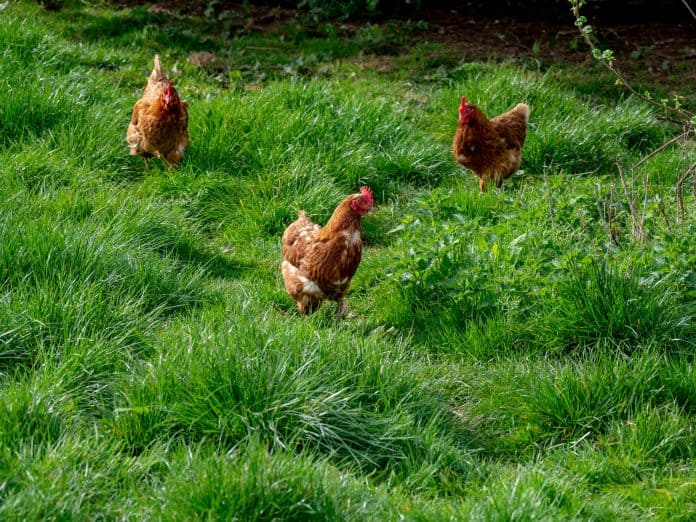 Chickens in the Netherlands can go outside again