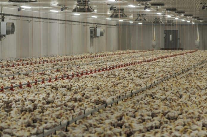 Chicken factory farm, © Jo-Anne McArthur / Djurrattsalliansen