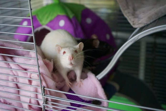Mice and rats get a second chance after laboratory life