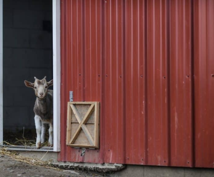 Unwanted male goat kids die at farms in the Netherlands