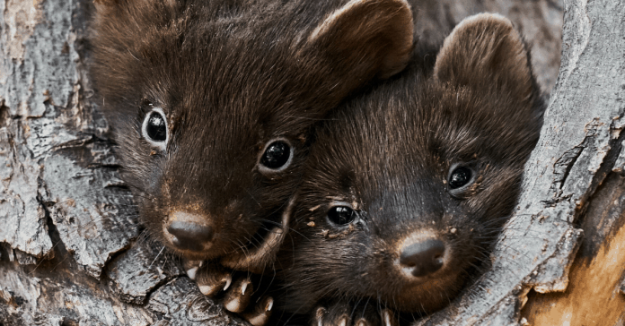 United States denies full protection for Pacific fisher, relative of the weasel