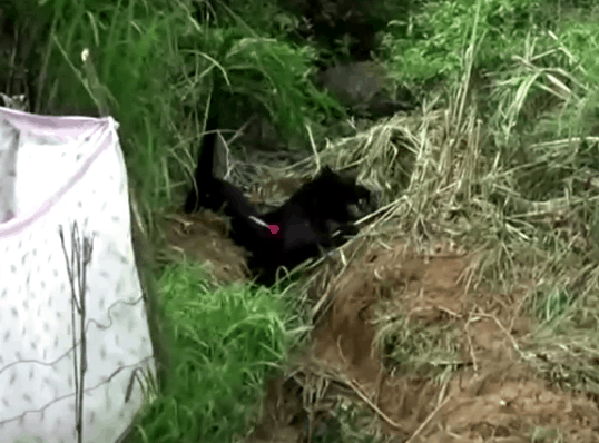 Black leopard being sedated in Sri Lank, photo: Still from video Reuters