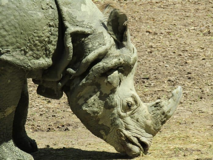 Rare one-horned rhino killed during the lockdown in India