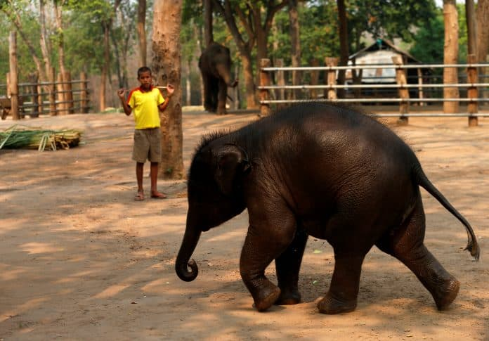 An eight-month-old elephant in elephant camp in Thailand, April 2020, photo: Reuters