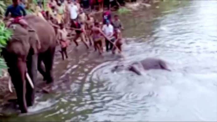 People pull the pregnant elephant out of the water, photo: Reuters
