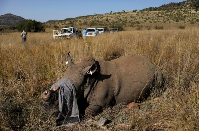 A rhino that has been dehorned, photo: Reuters