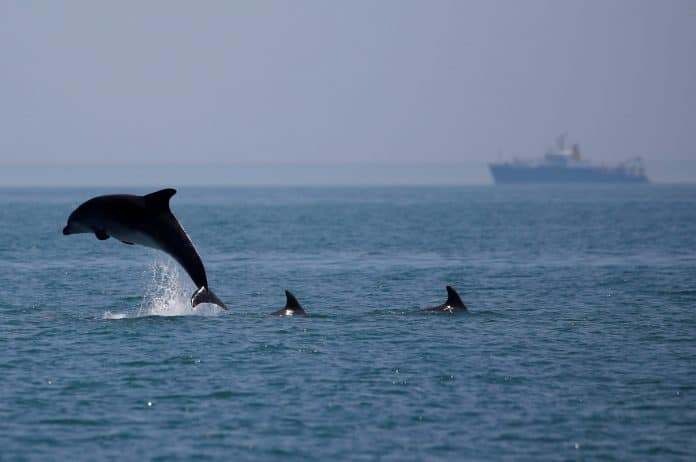 A dolphin jumps out of the sea near Cancale