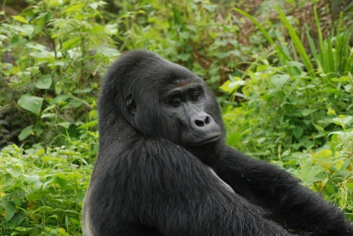Rafiki, photo: Uganda Wildlife Authority