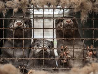Mink farm, photo: Bont voor Dieren