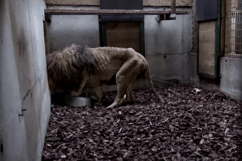 Starving lion Jon rescued from circus in France, photo: still Reuters