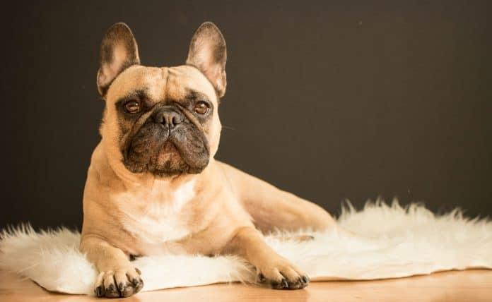 French Bulldog on rug, photo: Alexandru Sofronie via Unsplash