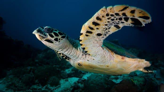 Hawksbill Sea Turtle, photo by Kris Mikael Krister on Unsplash