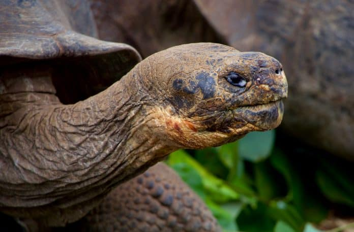 The 100-year-old giant Galapagos tortoise Diego is finally home