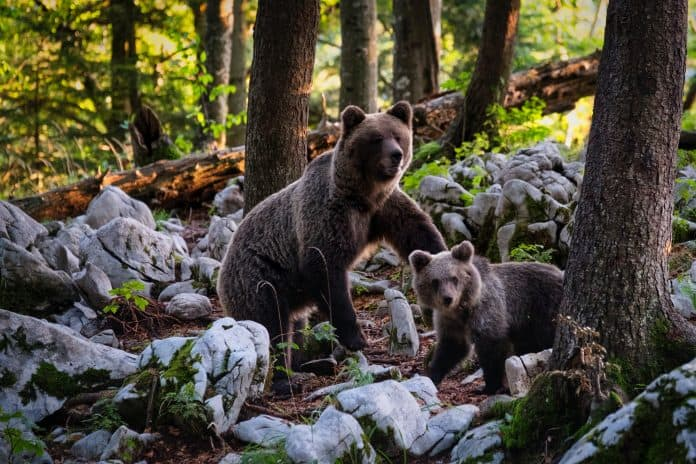 A mum bear and her cub, photo: Marco Secchi on Unsplash