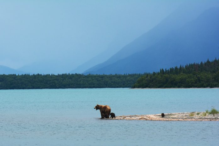 Mother bear with her cubs in Alaska, photo: Paxson Woelber on Unsplash
