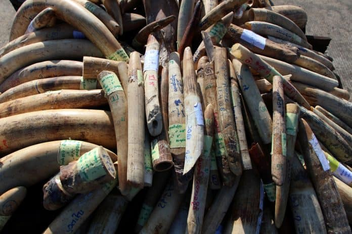 Confiscated pieces of ivory in Myanmar