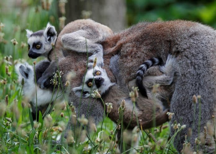 Two baby lemurs on their mom's back