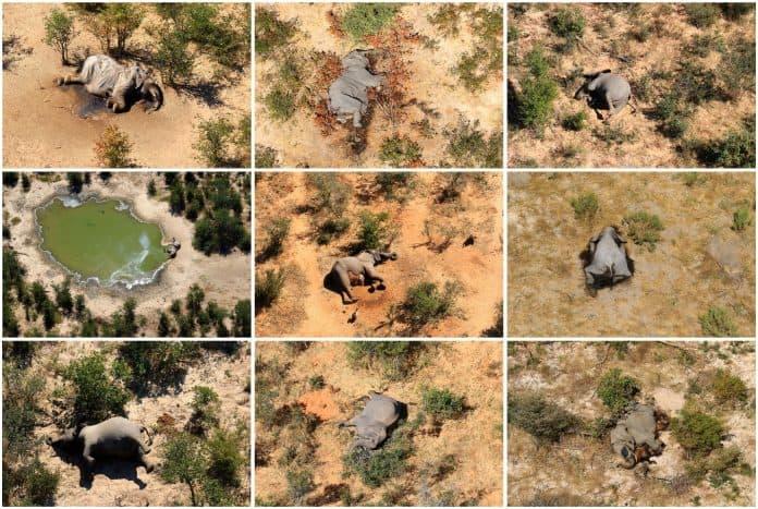 Dead elephants are seen in Okavango Delta. photo: Reuters