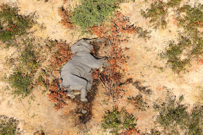 A dead elephant in Okavango Delta, Botswana, source: Reuters