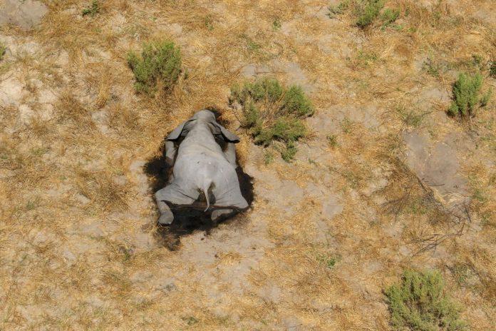 A dead elephant in Okavango Delta, Botswana, source: Reuters