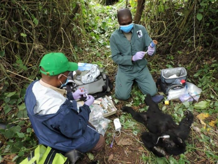 Veterinary and Virunga Park rangers remove a poachers' snare from the hand of Theodore, Virunga National Park, Congo, photo: Reuters