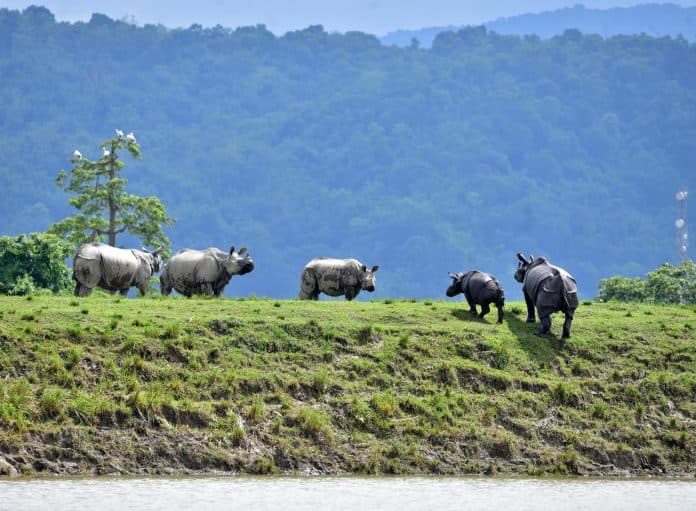 One-horned rhinos move to higher grounds in the flood-affected area of Kaziranga National Park in Nagaon district