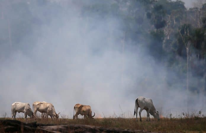 Cows graze on a field that was burnt out in the Amazon rainforest, Brazil, photo: Reuters/Ricardo Moraes