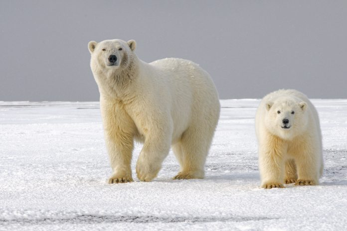 Polar bear mother and child, northern Alaska