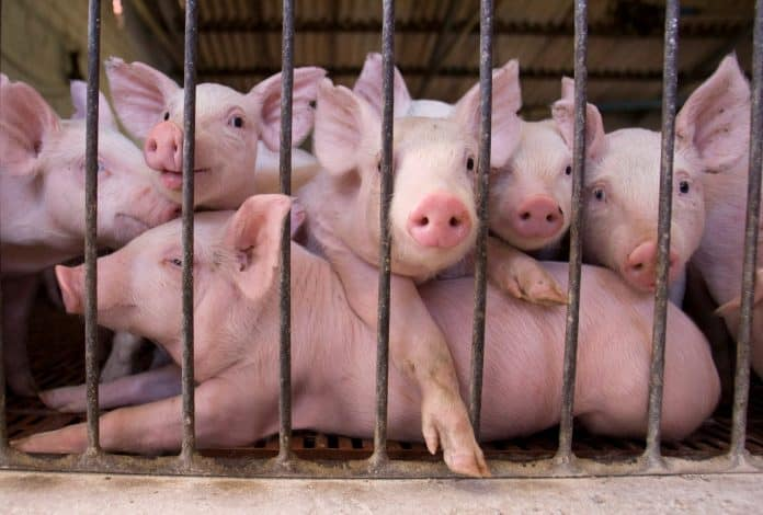 Piglets look out from a fence at farm in Argentina, photo: Reuters/Enrique Marcarian