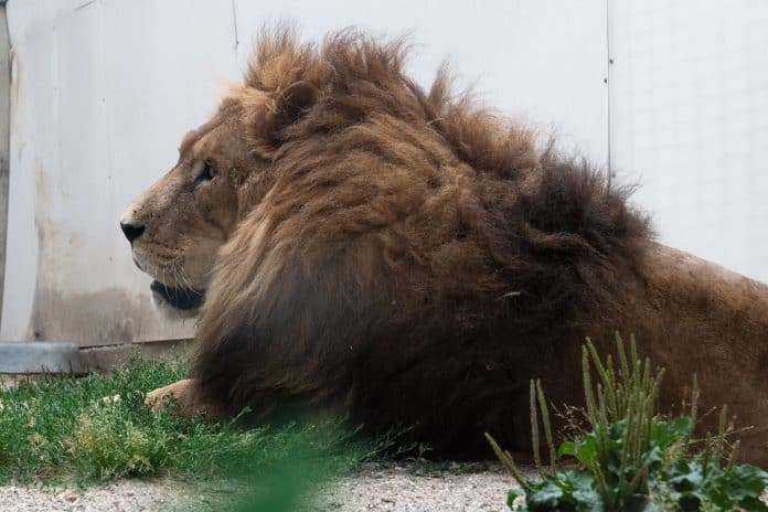 Lion Jon is doing much better, photo: One Voice