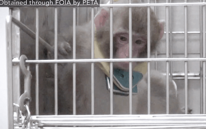 Baby monkey scared in a cage, still fro video obtained by PETA