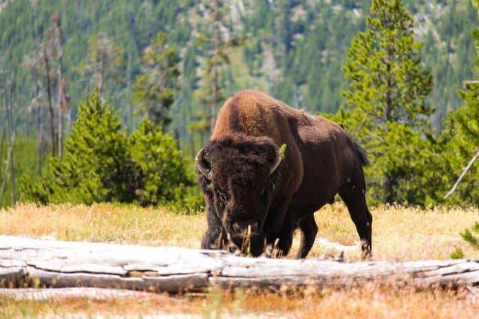 Bison, photo: Chloe Leis on Unsplash