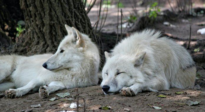 Wolves, photo: Dušan Smetana on Unsplash